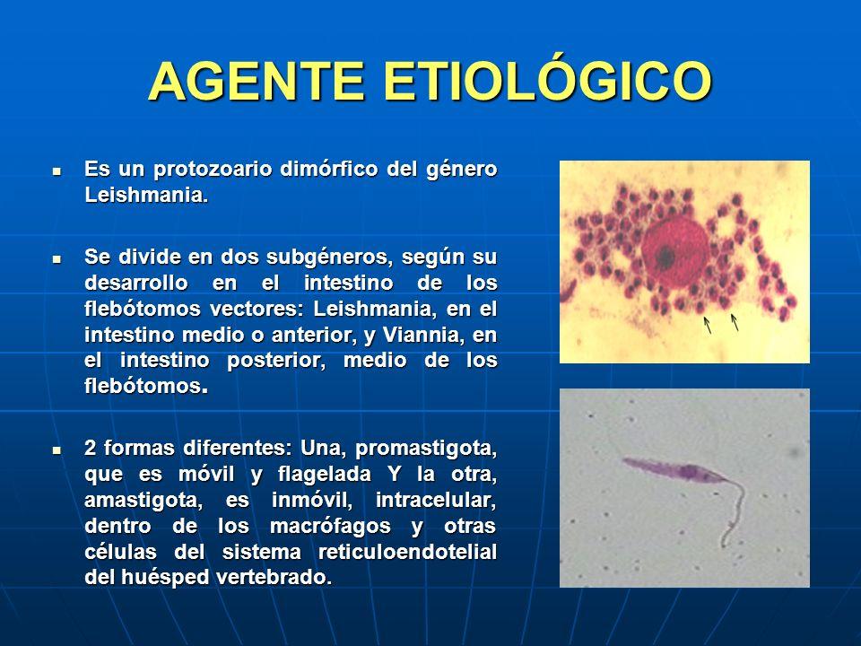 AGENTE ETIOLÓGICO Es un protozoario dimórfico del género Leishmania.