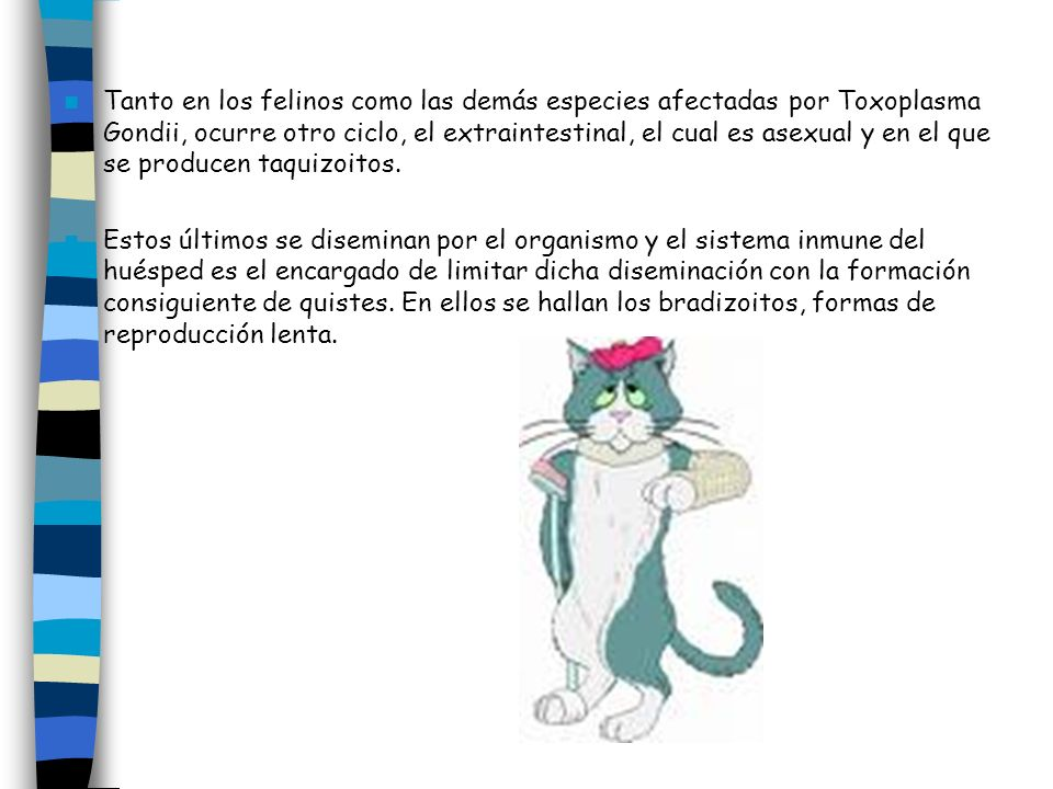 Tanto en los felinos como las demás especies afectadas por Toxoplasma Gondii, ocurre otro ciclo, el extraintestinal, el cual es asexual y en el que se producen taquizoitos.