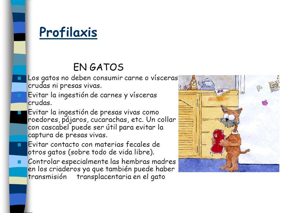 Profilaxis EN GATOS. Los gatos no deben consumir carne o vísceras crudas ni presas vivas. Evitar la ingestión de carnes y vísceras crudas.