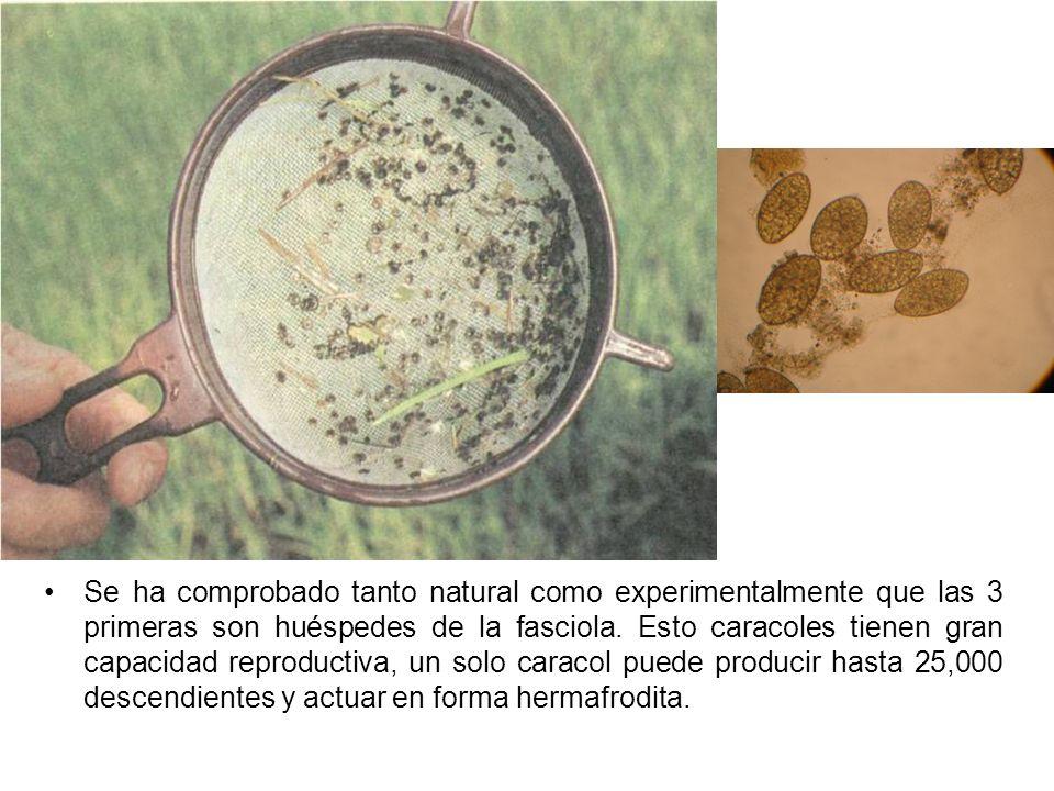 Se ha comprobado tanto natural como experimentalmente que las 3 primeras son huéspedes de la fasciola.