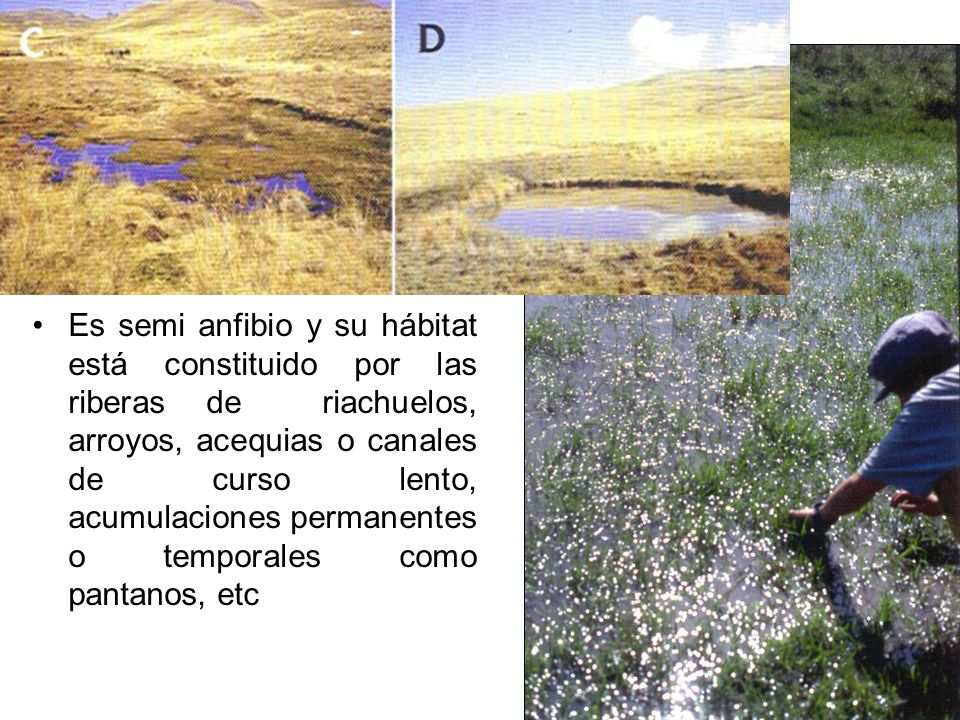 Es semi anfibio y su hábitat está constituido por las riberas de riachuelos, arroyos, acequias o canales de curso lento, acumulaciones permanentes o temporales como pantanos, etc
