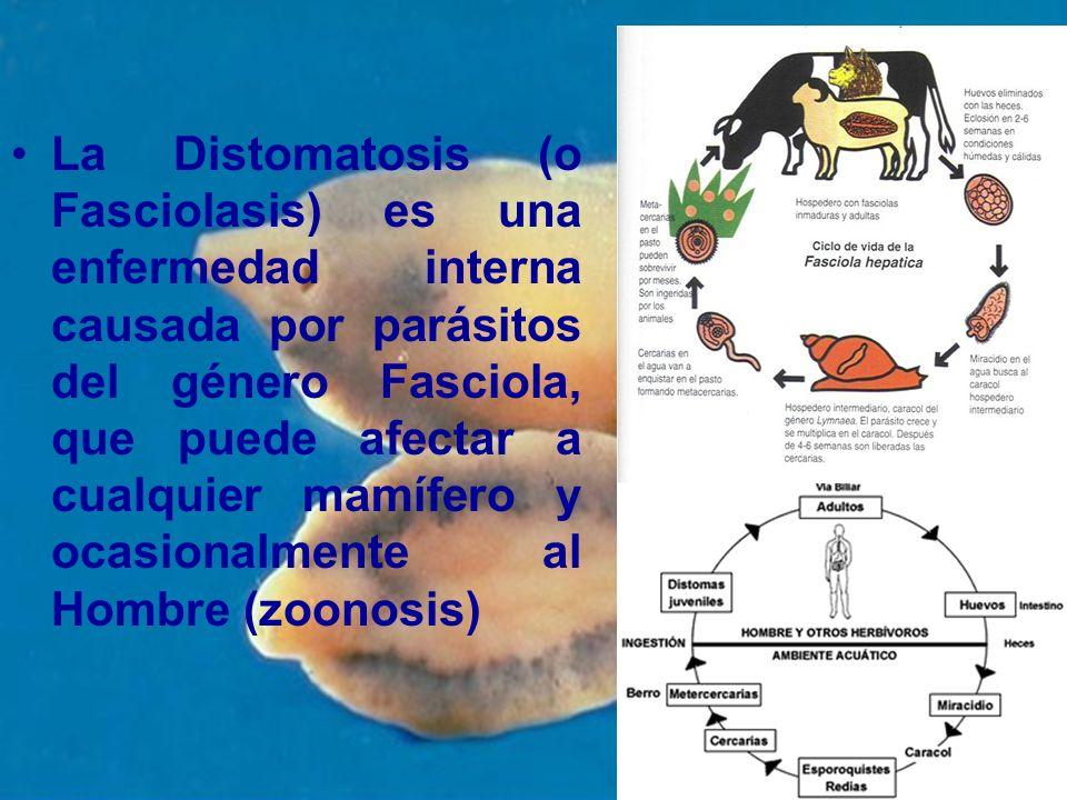 La Distomatosis (o Fasciolasis) es una enfermedad interna causada por parásitos del género Fasciola, que puede afectar a cualquier mamífero y ocasionalmente al Hombre (zoonosis)