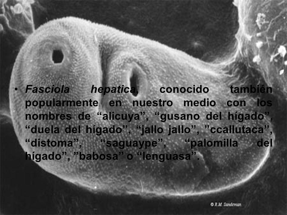 Fasciola hepatica, conocido también popularmente en nuestro medio con los nombres de alicuya , gusano del hígado , duela del hígado , jallo jallo , ccallutaca , distoma , saguaype , palomilla del hígado , babosa o lenguasa .