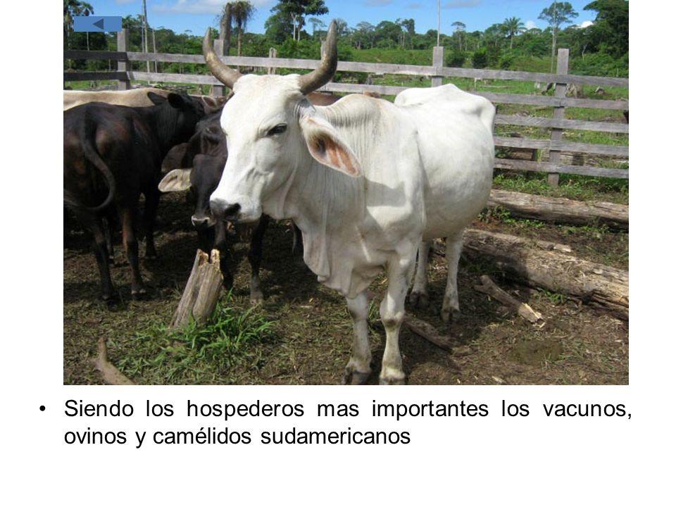 Siendo los hospederos mas importantes los vacunos, ovinos y camélidos sudamericanos
