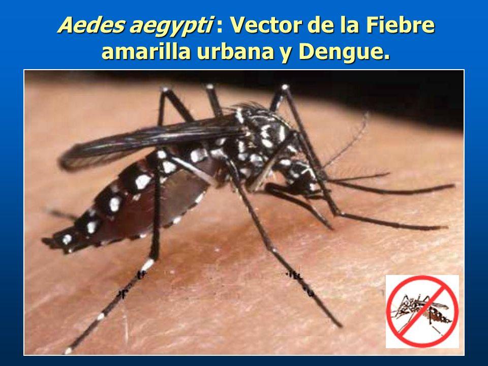 Aedes aegypti : Vector de la Fiebre amarilla urbana y Dengue.