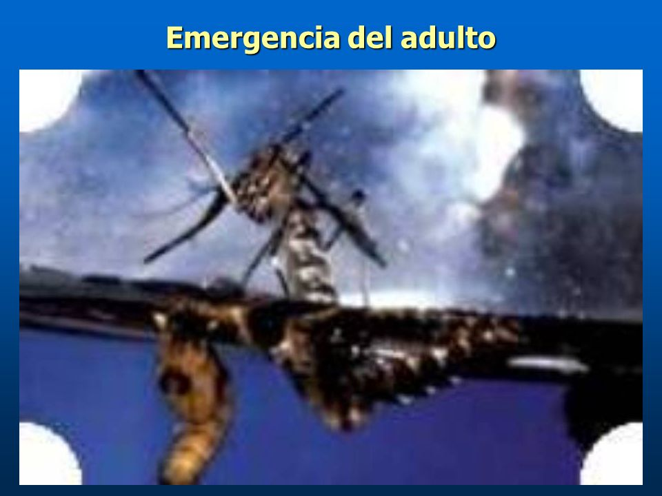 Emergencia del adulto