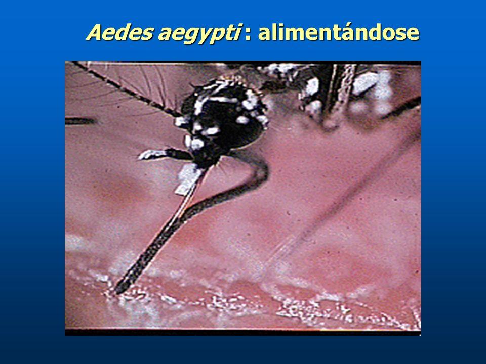 Aedes aegypti : alimentándose