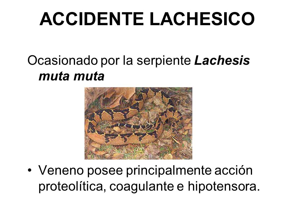 ACCIDENTE LACHESICO Ocasionado por la serpiente Lachesis muta muta