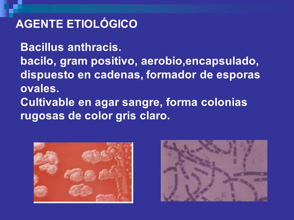 AGENTE ETIOLÓGICO Bacillus anthracis. bacilo, gram positivo, aerobio,encapsulado, dispuesto en cadenas, formador de esporas ovales.