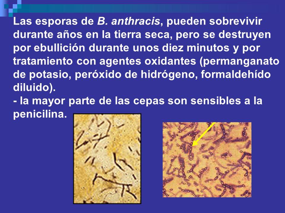 Las esporas de B. anthracis, pueden sobrevivir durante años en la tierra seca, pero se destruyen por ebullición durante unos diez minutos y por tratamiento con agentes oxidantes (permanganato de potasio, peróxido de hidrógeno, formaldehído diluido).