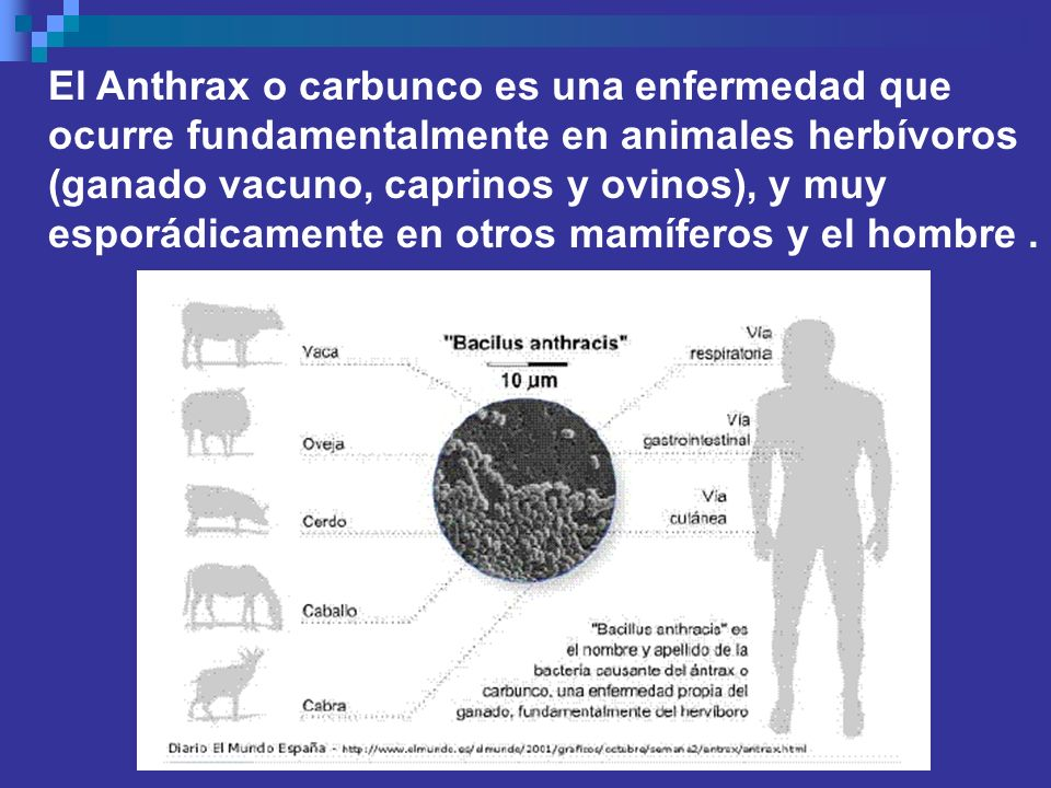 El Anthrax o carbunco es una enfermedad que ocurre fundamentalmente en animales herbívoros (ganado vacuno, caprinos y ovinos), y muy esporádicamente en otros mamíferos y el hombre .