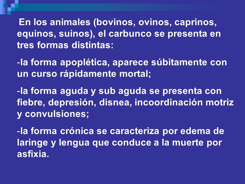 En los animales (bovinos, ovinos, caprinos, equinos, suinos), el carbunco se presenta en tres formas distintas:
