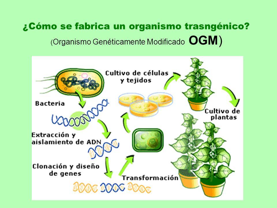 ¿Cómo se fabrica un organismo trasngénico