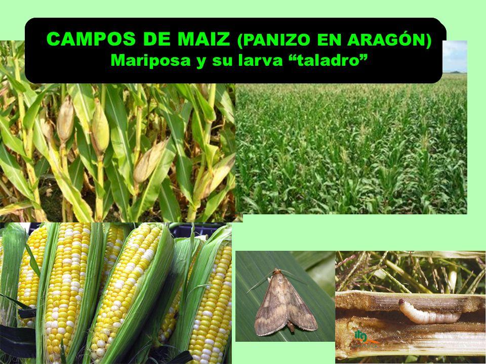 CAMPOS DE MAIZ (PANIZO EN ARAGÓN) CAMPOS DE MAIZ (PANIZO EN ARAGÓN)