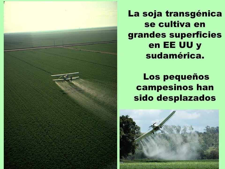La soja transgénica se cultiva en grandes superficies en EE UU y sudamérica.