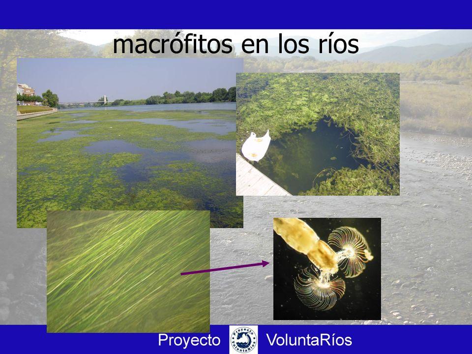 macrófitos en los ríos