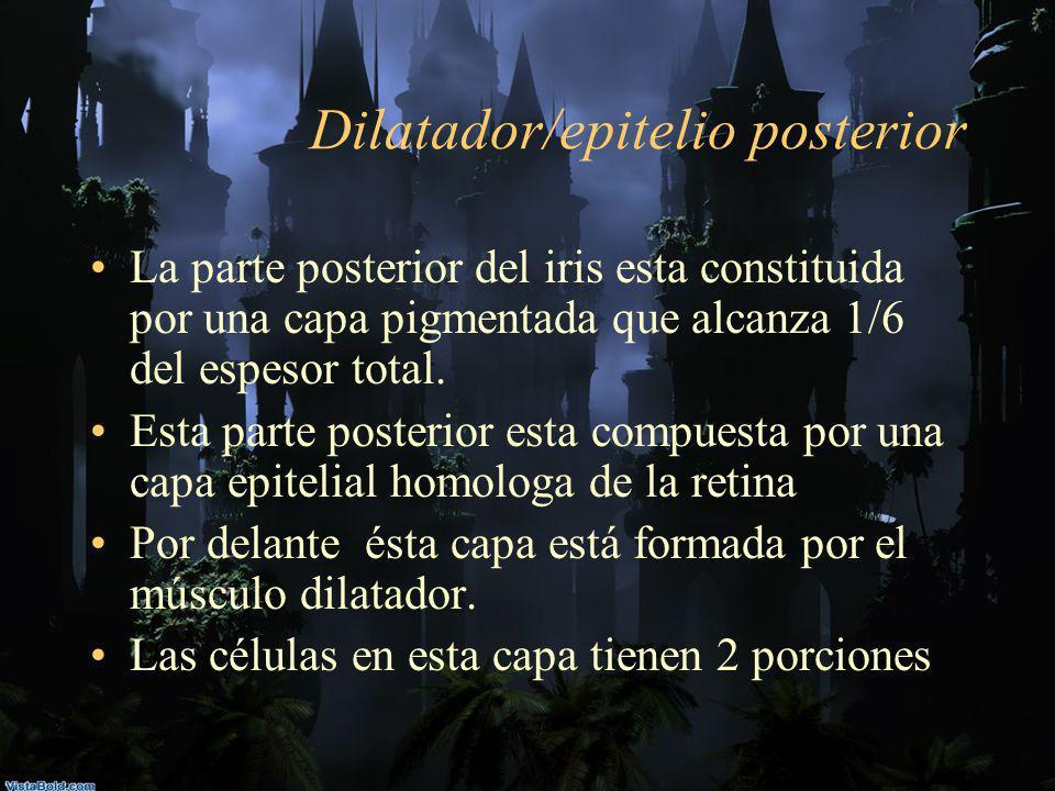 Dilatador/epitelio posterior