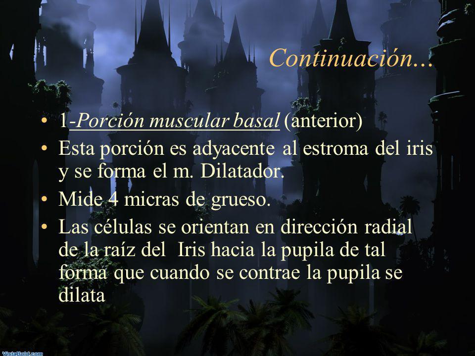 Continuación... 1-Porción muscular basal (anterior)