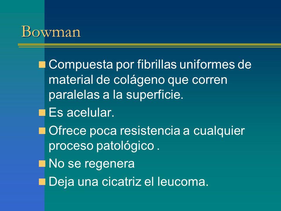 Bowman Compuesta por fibrillas uniformes de material de colágeno que corren paralelas a la superficie.