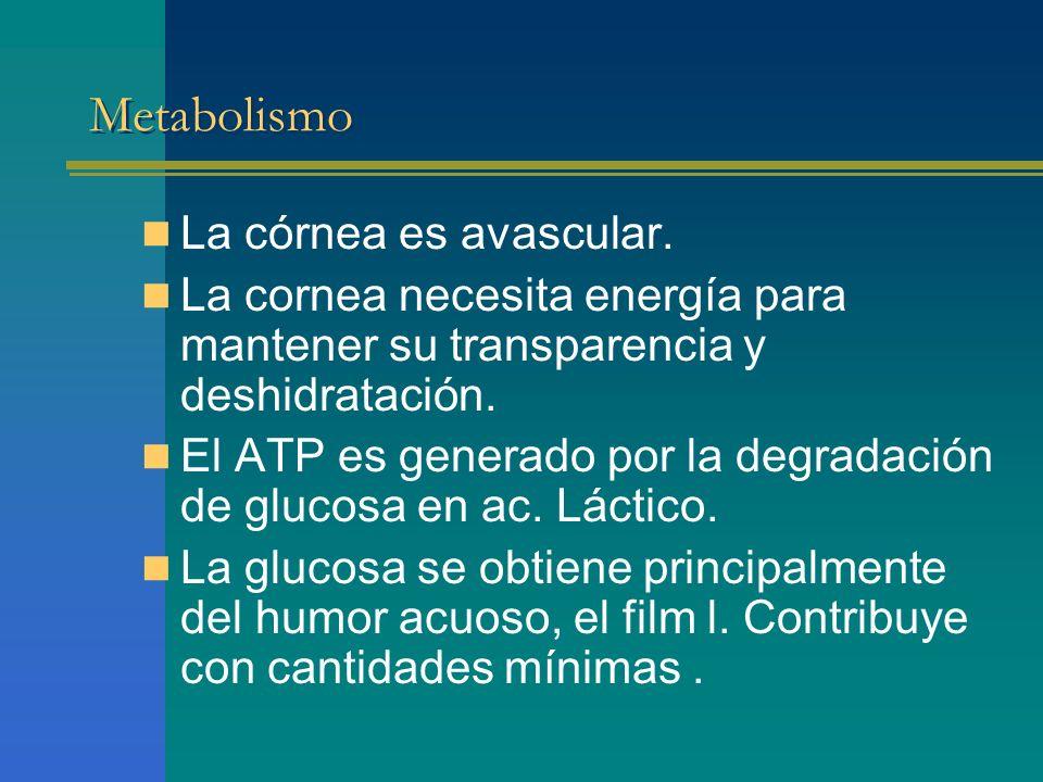 Metabolismo La córnea es avascular.