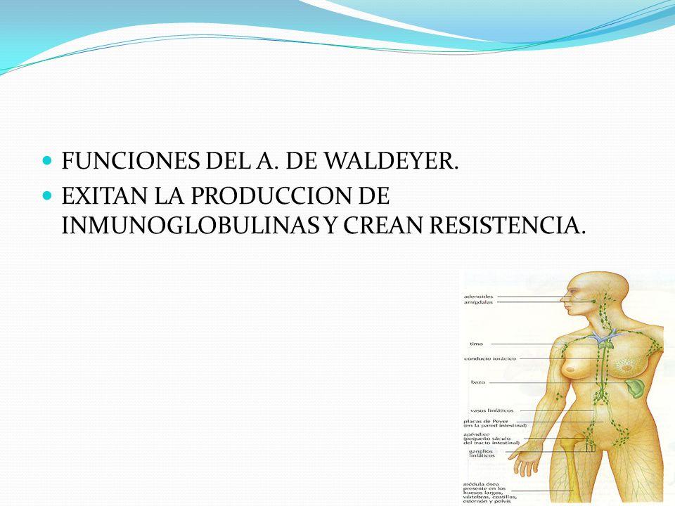 FUNCIONES DEL A. DE WALDEYER.