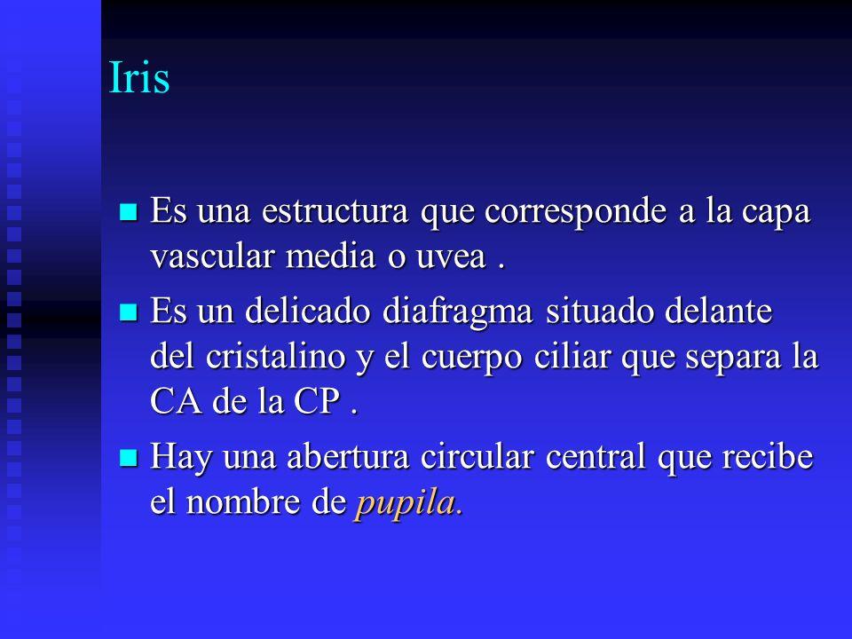 IrisEs una estructura que corresponde a la capa vascular media o uvea .