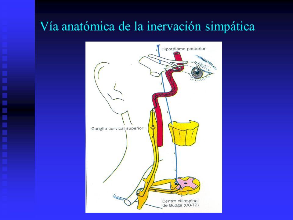 Vía anatómica de la inervación simpática