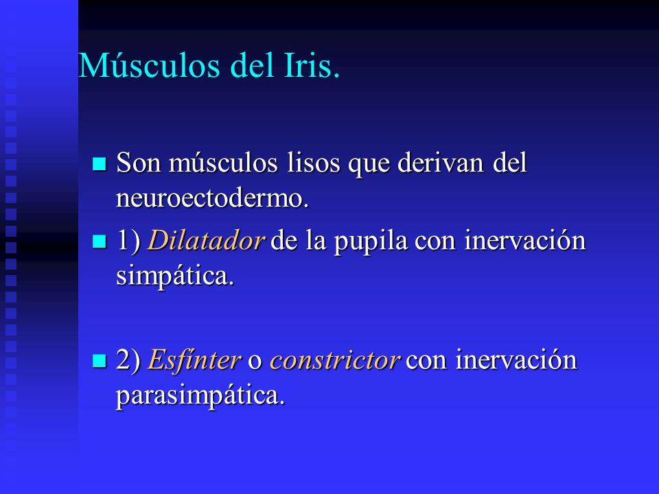 Músculos del Iris. Son músculos lisos que derivan del neuroectodermo.