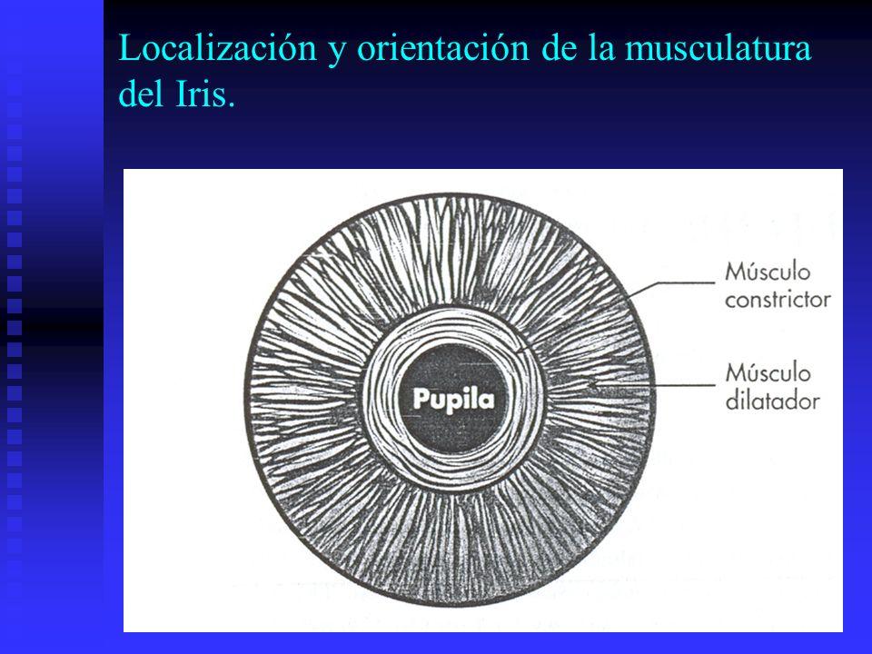 Localización y orientación de la musculatura del Iris.