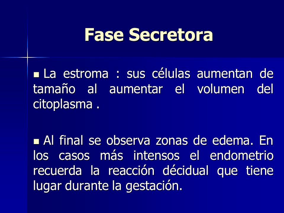 Fase Secretora La estroma : sus células aumentan de tamaño al aumentar el volumen del citoplasma .