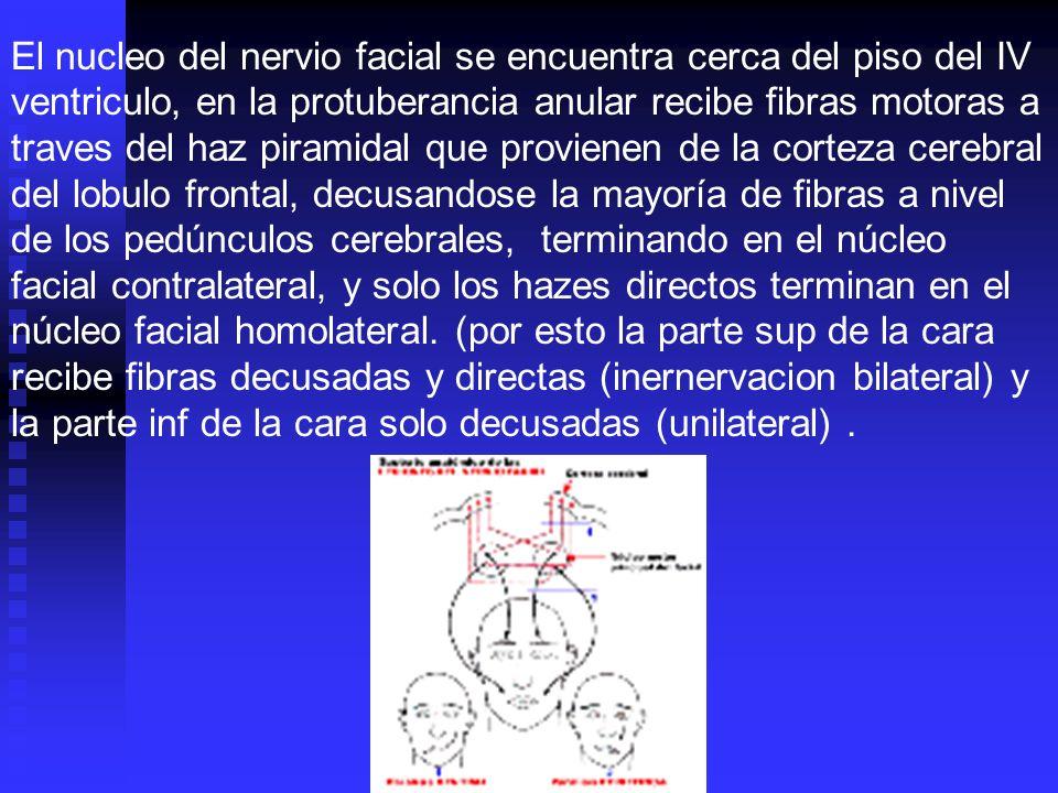 El nucleo del nervio facial se encuentra cerca del piso del IV ventriculo, en la protuberancia anular recibe fibras motoras a traves del haz piramidal que provienen de la corteza cerebral del lobulo frontal, decusandose la mayoría de fibras a nivel de los pedúnculos cerebrales, terminando en el núcleo facial contralateral, y solo los hazes directos terminan en el núcleo facial homolateral. (por esto la parte sup de la cara recibe fibras decusadas y directas (inernervacion bilateral) y la parte inf de la cara solo decusadas (unilateral) .