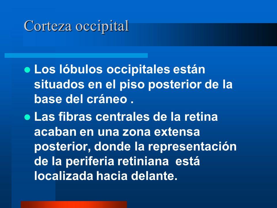 Corteza occipital Los lóbulos occipitales están situados en el piso posterior de la base del cráneo .