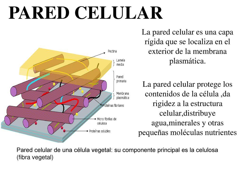 Estructuras presentes en todos los tipos celulares ppt for Que planta para muro exterior vegetal