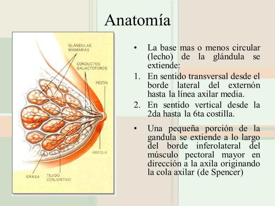 Anatomía La base mas o menos circular (lecho) de la glándula se extiende: