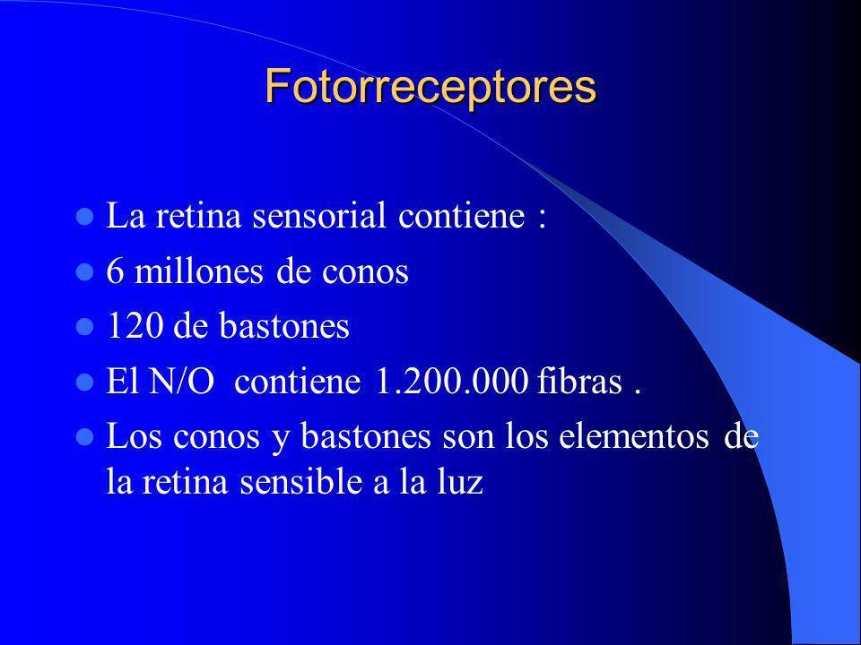 Fotorreceptores La retina sensorial contiene : 6 millones de conos