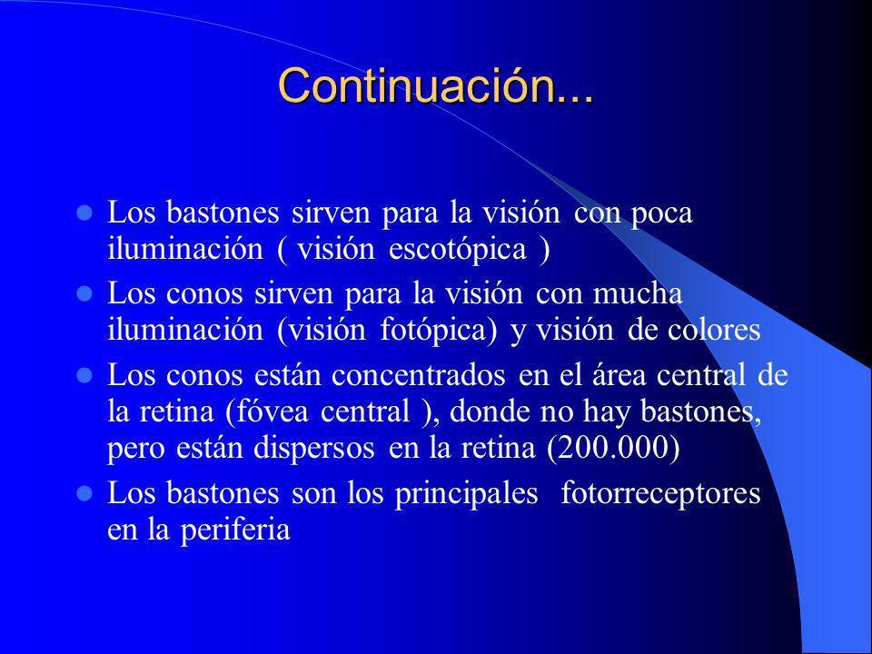 Continuación... Los bastones sirven para la visión con poca iluminación ( visión escotópica )