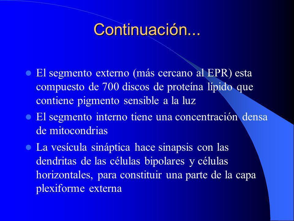 Continuación... El segmento externo (más cercano al EPR) esta compuesto de 700 discos de proteína lípido que contiene pigmento sensible a la luz.
