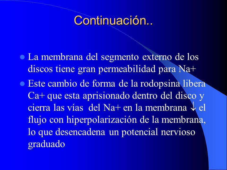 Continuación.. La membrana del segmento externo de los discos tiene gran permeabilidad para Na+