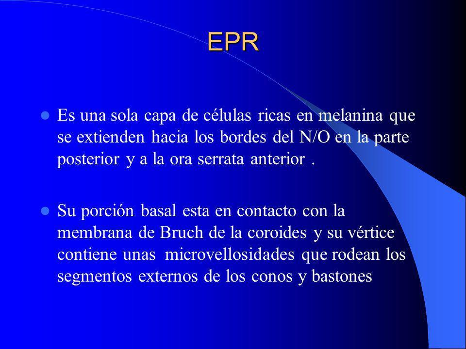 EPR Es una sola capa de células ricas en melanina que se extienden hacia los bordes del N/O en la parte posterior y a la ora serrata anterior .