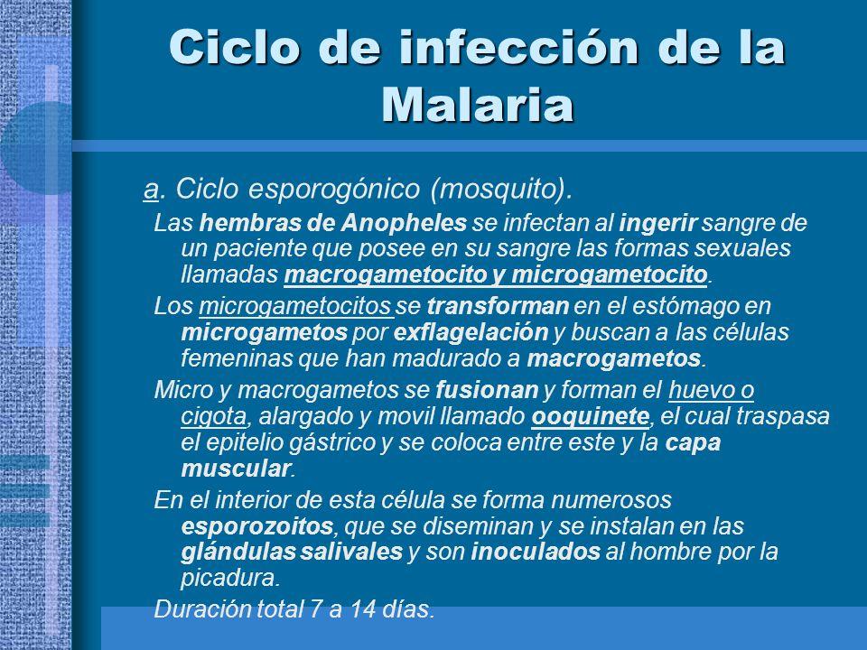 Ciclo de infección de la Malaria