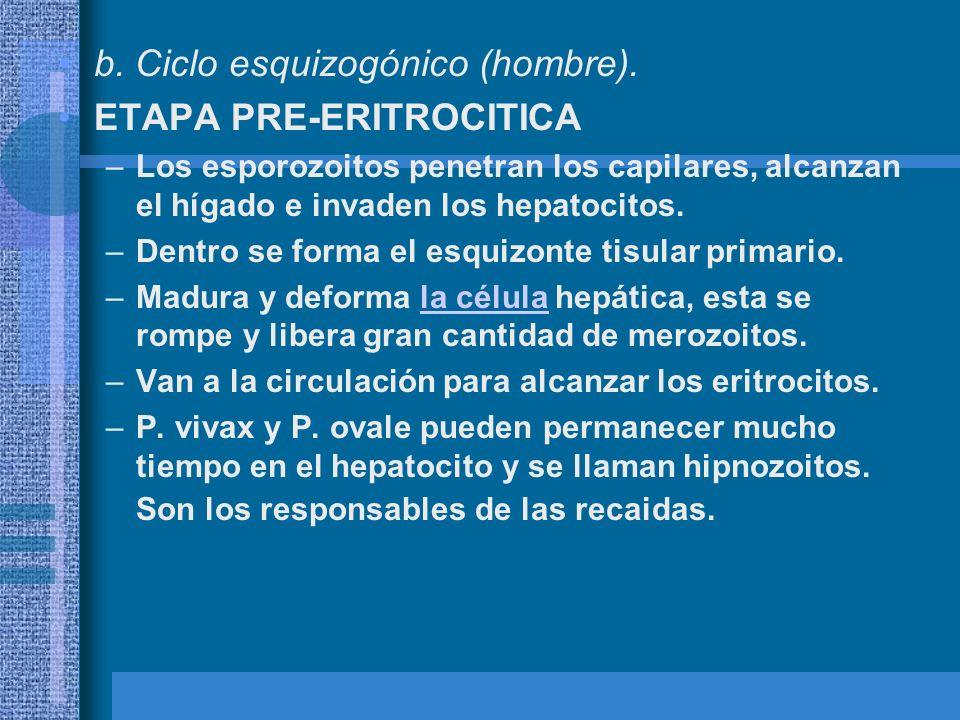 b. Ciclo esquizogónico (hombre). ETAPA PRE-ERITROCITICA