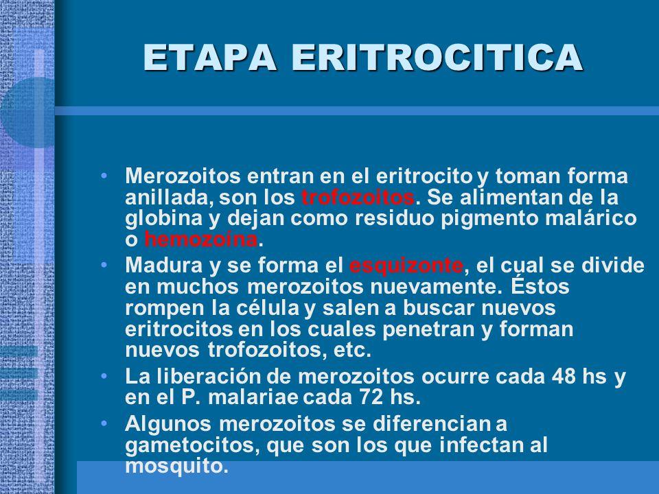 ETAPA ERITROCITICA