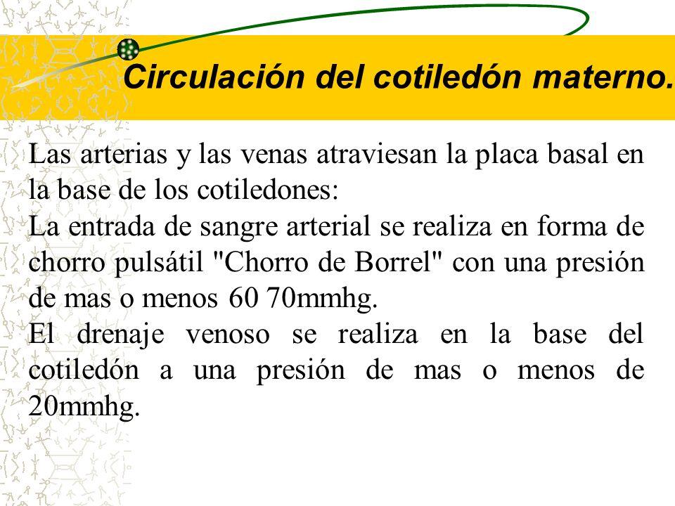 Circulación del cotiledón materno.