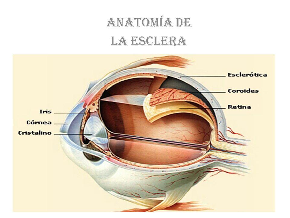 Anatomía de la esclera. - ppt video online descargar