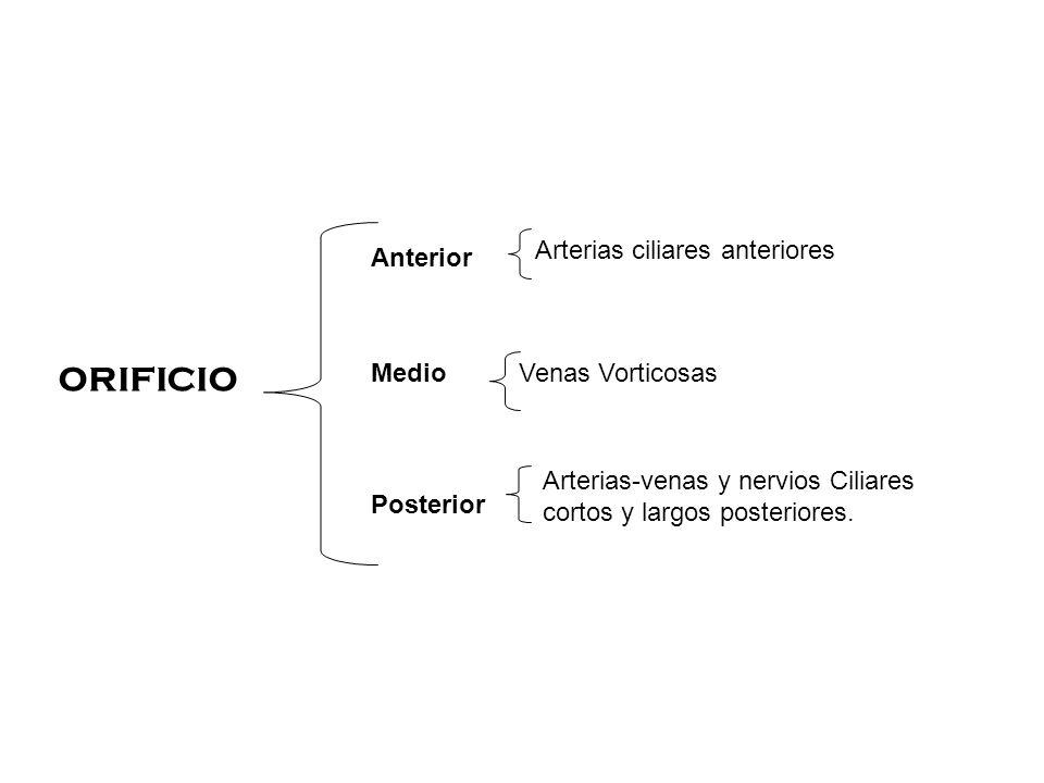 ORIFICIO Arterias ciliares anteriores Anterior Medio Venas Vorticosas