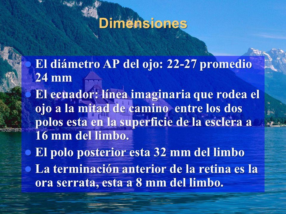 Dimensiones El diámetro AP del ojo: 22-27 promedio 24 mm