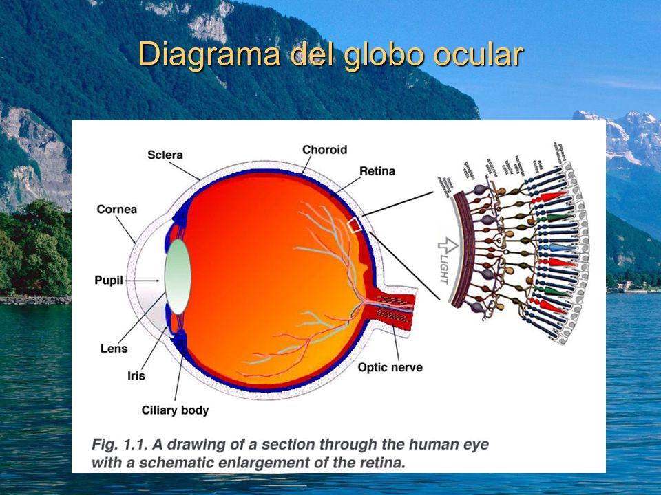 Diagrama del globo ocular