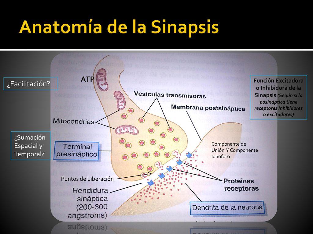 Vistoso Anatomía Unión Craniovertebral Cresta - Imágenes de Anatomía ...