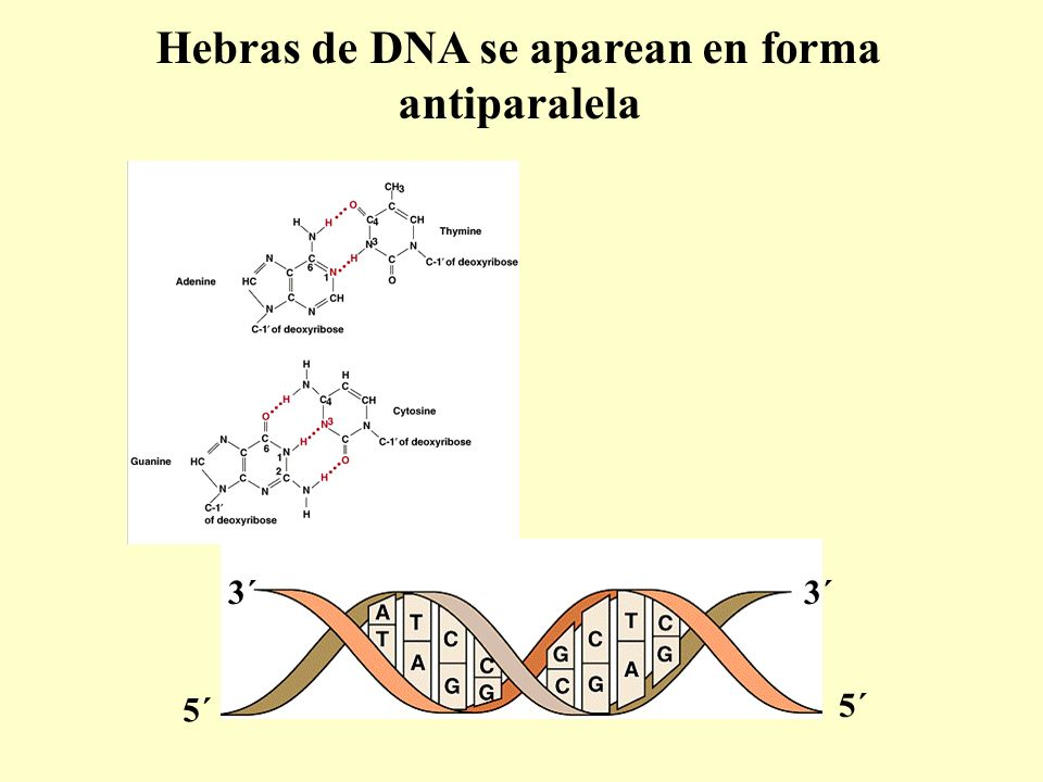 Hebras de DNA se aparean en forma antiparalela