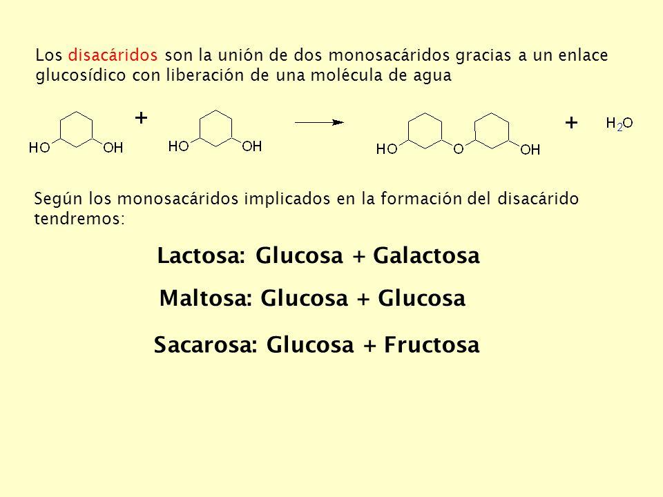 Lactosa: Glucosa + Galactosa